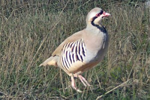 bow hunting chukar